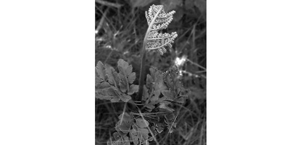 Höstlåsbräken med sin rikt förgrenade sporgömmeställning. Bladen är skaftade direkt från basen. Arten förekommer främst norr om Dalälven ända upp till allra nordligaste delarna av Sverige.