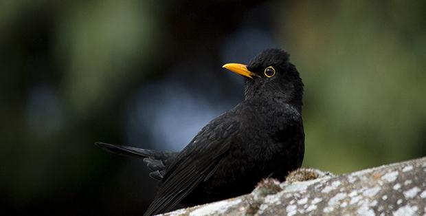 Mångfald av fågelsång ökar trivseln