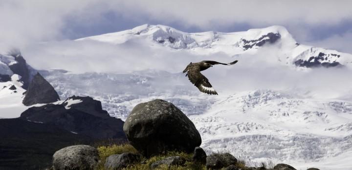 A Great Skua (Stercorarius skua) flies over Hornafjörður