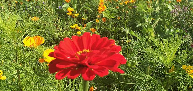 Tusen blommor blommar