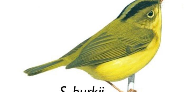 """Orientalisk bambusångare """"Seicercus Burkii"""""""