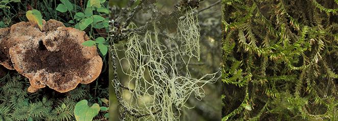 Raggtaggsvamp (Hydnellum mirabile), Garnlav (Alectoria sarmentosa) och aspfjädermossa (Neckera pennata),