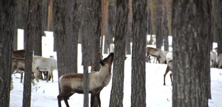 Renar i skog.