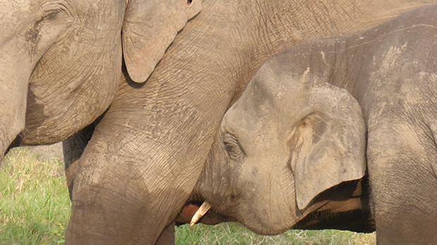 Diande elefantkalv