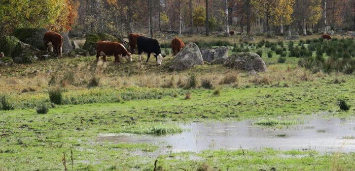 Kor som betar på en strandäng vid en våtmark, med lövskogsbryn i bakgrunden. Foto.