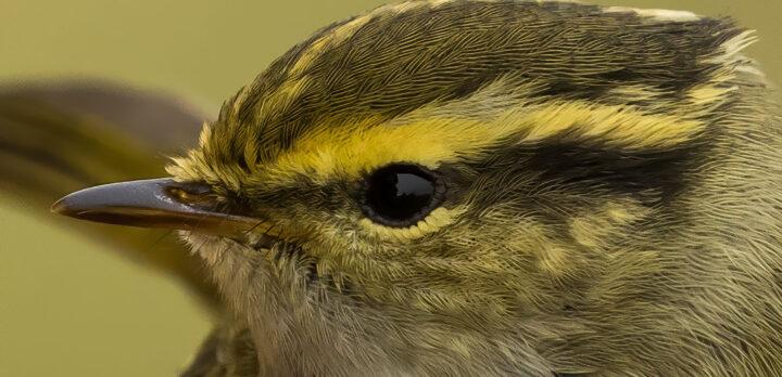Extrem närbild på fågelhuvud med ögat i fokus.