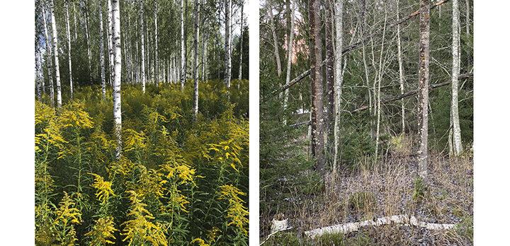 Kollage av två bilder: till vänster en likåldrig ung björkskog, till höger en olikåldrig lövskog med grenar och stammar på marken.