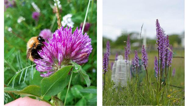 Collage med två bilder: en närbild på en humla på en rödklöver, en bild på en grupp lila blommor. Foton.