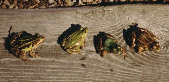 Fyra grodor i olika grön-bruna nyanser på en planka. Foto.