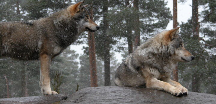 Bergsknalle med två vargar i snöglopp. Foto.