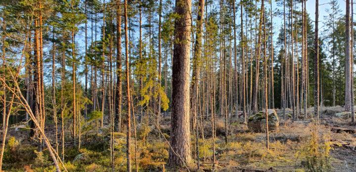 Avverkad yta med kvarlämnade yngre och äldre träd.