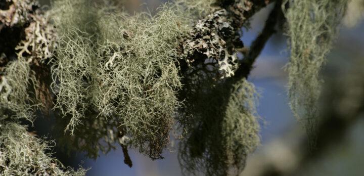 Närbild på lavar på gren. Foto.